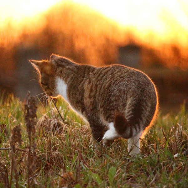 Light Grass Mackerel Sunset Mieze Kitten Sun Cat