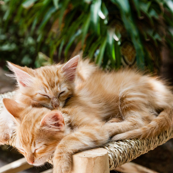 Domestic Animal Sleeping Kittens Cute Cats Pets