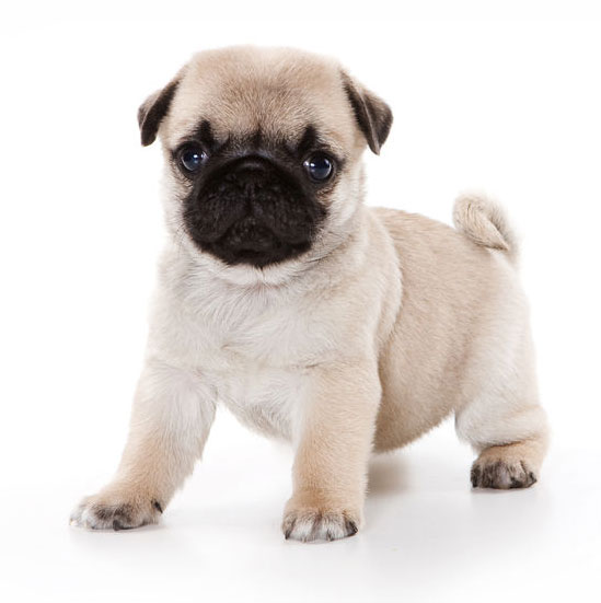 Funny pug Puppy looking at the camera