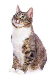 European cat sitting on a white background