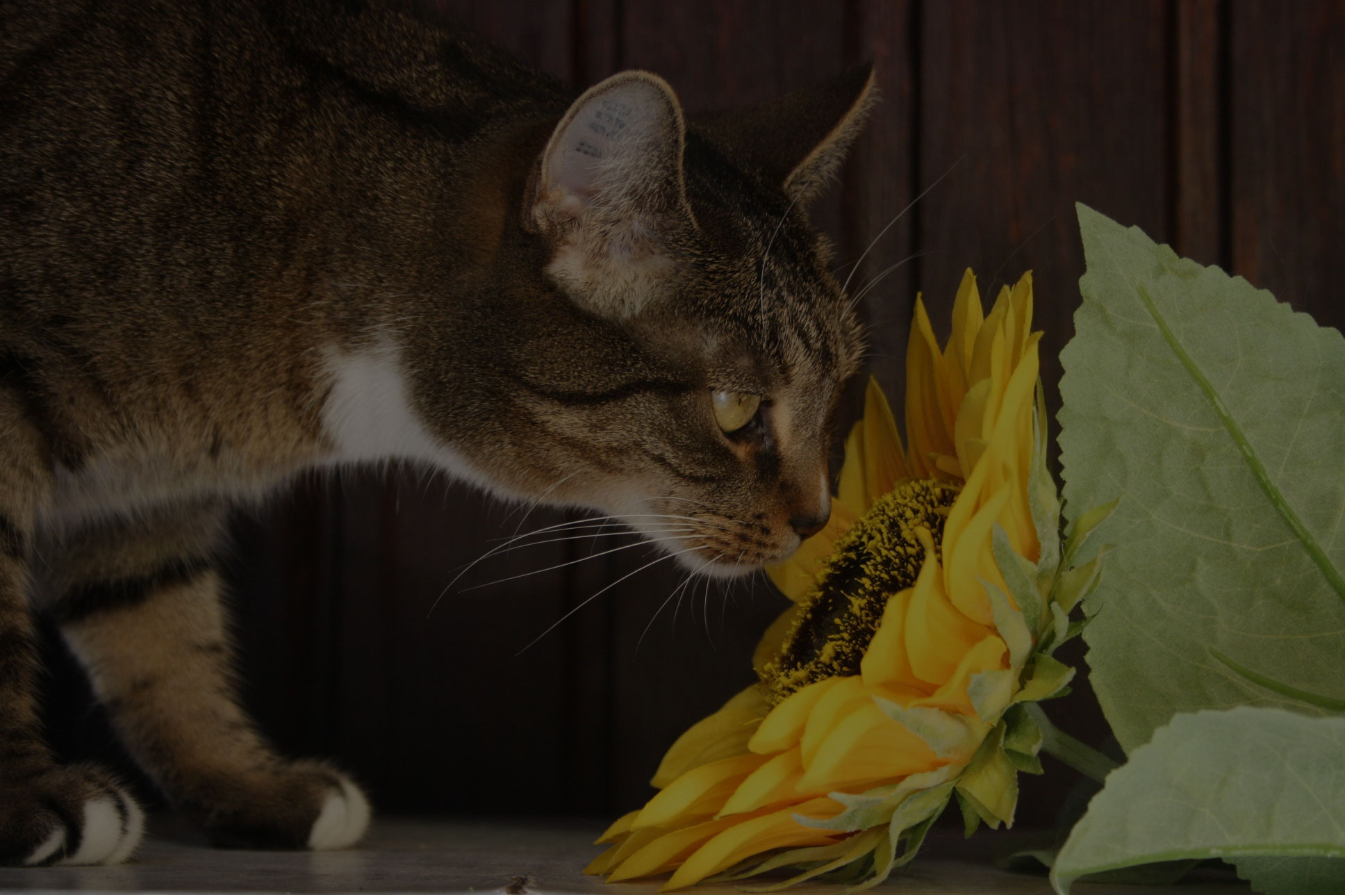 Domestic cat sniff sunflower