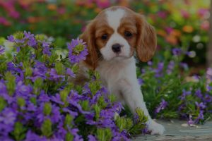 Cavalier King Charles Spaniel puppy sitting colorful flowerbed