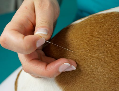 Is Acupuncture a Valid Option for My Pet?